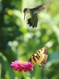 Butterflies, Hummingbirds & Muncie Ballet